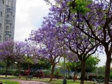 134d1-jacaranda_img_6183-001