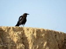 Corvus ruficollis IMG_8120-001