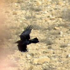 Corvus ruficollis Voron pust_IMG_6835-001