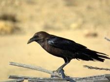 Corvus ruficollis Voron pust_IMG_7000-001