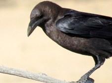 Corvus ruficollis Voron pust_IMG_7004-001