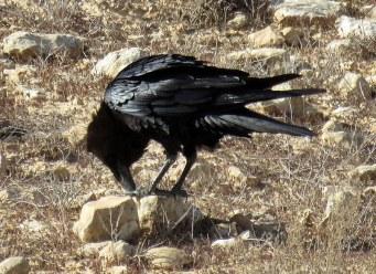 Corvus ruficollis Voron pust_IMG_7005-003