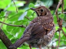 Так выглядит молодая птица в Англии
