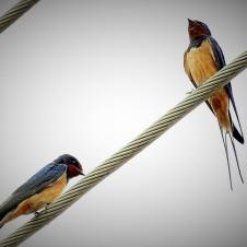 Слеток (слева) и самец