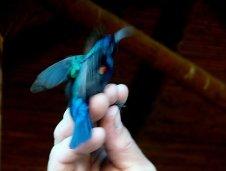 Пятно под крылом самцов дало одно из названий - Красноподмышечная нектарница