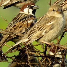 Самец (слева) и самка