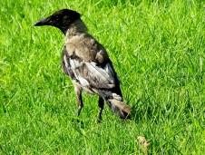 Серая ворона с белыми перьями