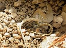 acanthodactylus-boskianus-img_7808-001