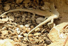 acanthodactylus-boskianus-img_7814-001