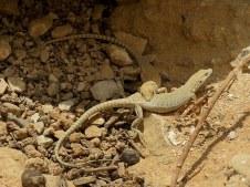 acanthodactylus-boskianus-img_7816-001