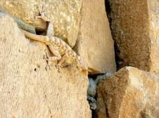 gekkon_ptyodactylus-guttatus-img_7908-001