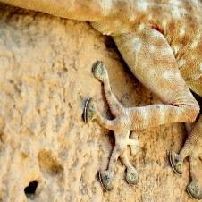 gekkon_ptyodactylus-guttatus-img_7909-001
