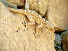 gekkon_ptyodactylus-guttatus-img_7910-001
