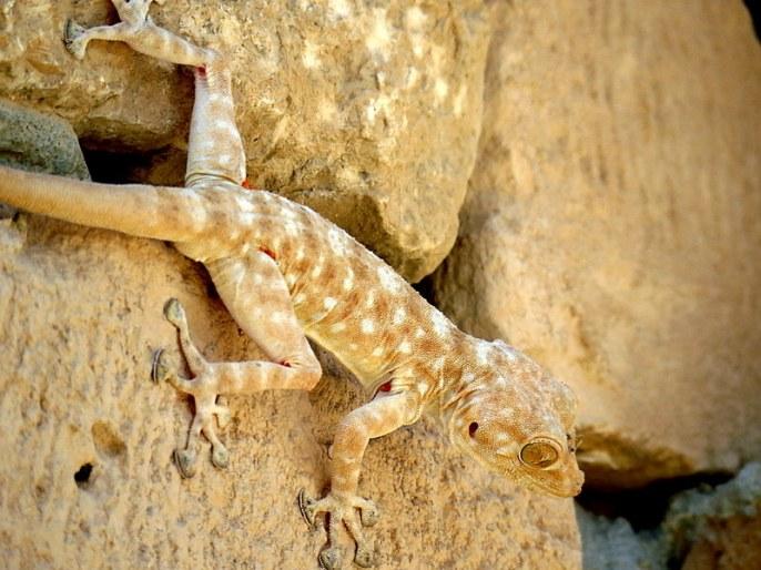 gekkon_ptyodactylus-guttatus-img_7911-001