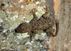 gekkon_veer_ptyodactylus-hasselquistii_img_3509-003