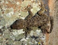 gekkon_veer_ptyodactylus-hasselquistii_img_3510-002