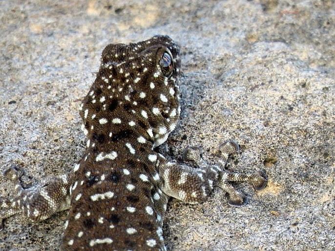 gekkon_veer_ptyodactylus-hasselquistii_yascheriza_img_5777-001