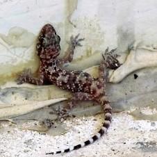 gekkonidae-hemidactylus-turcicus-img_5244