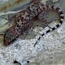gekkonidae-hemidactylus-turcicus-img_5253