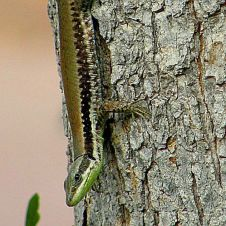 lacerta-laevis-lizard_yas4er_pa070347_-002