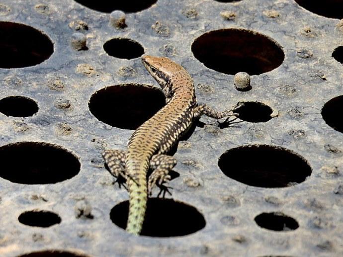 lizard_img_7079-001