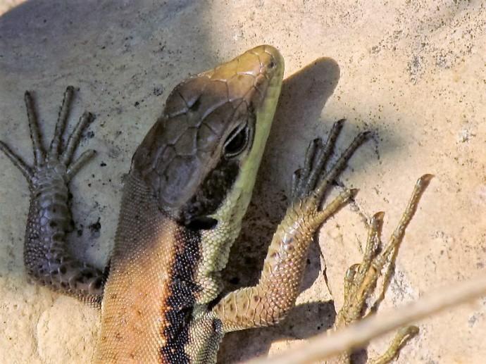 lizard_img_9694
