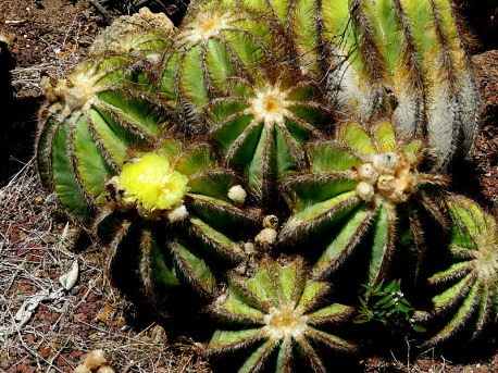 61eff-eriocactus2bmagnificus2bimg_6326-001