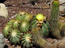 92e94-eriocactus2bmagnificus2bimg_6309-001