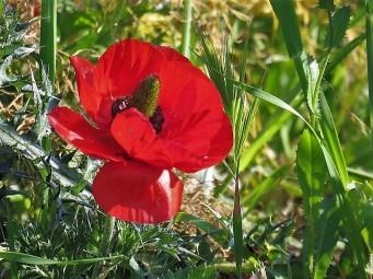 Ranunculus asiaticus IMG_1438 (3)
