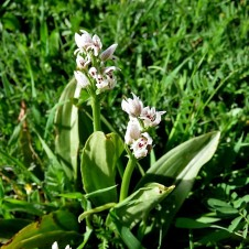 Orchis galilaea IMG_2187 (2)