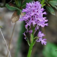 Orchis tridentata IMG_2550 (2)