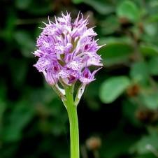 Orchis tridentata IMG_2657 (2)