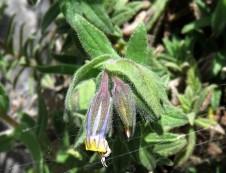 Podonosma orientalis IMG_2223 (2)