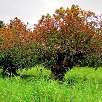 Ficus_Sicomora_IMG_1899 (2)