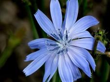 Cichorium endivia_IMG_6710 (2)