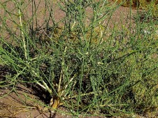 Ochradenus baccatus IMG_1210-002 (2)