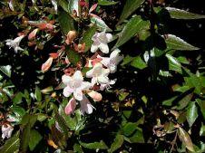 Abelia X grandiflora CIMG4198_2a