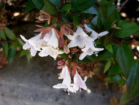 Abelia X grandiflora CIMG4199_2a