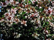 Abelia X grandiflora IMG_4301 (2)