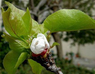Abrikos_Prunus armeniaca P3090022_a
