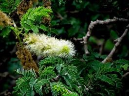 acacia-albida-img_5310 (2)