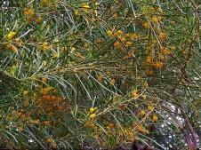 Acacia coriacea_IMG_6785 (3)-001