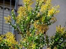Acacia cultriformis IMG_7079-001