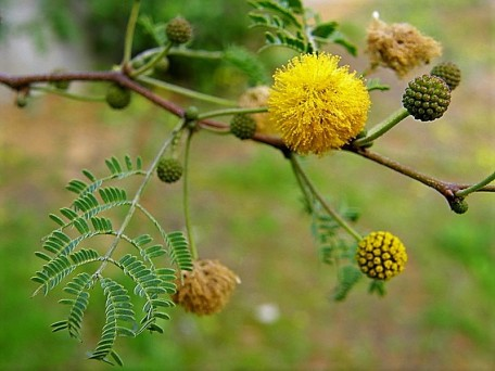 Acacia farnesiana_P1200023_a (2)