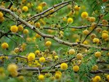 Acacia farnesiana_P1200024_a (2)
