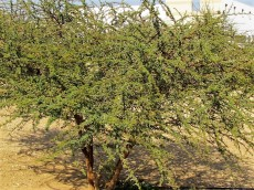 Acacia karroo_IMG_9647 (2)