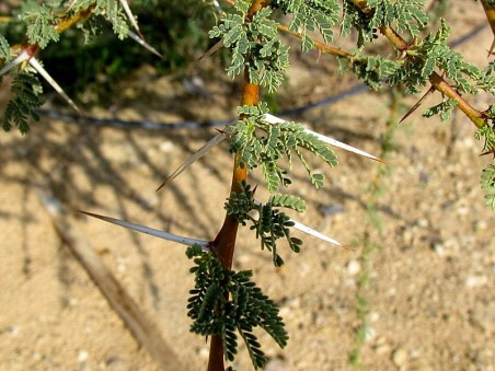Acacia karroo_IMG_9650-001 (2)