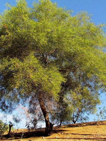 acacia nematophylla_IMG_4356-001