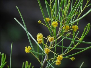 Acacia nematophylla_IMG_6763 (2)