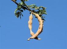 Acacia pachyceras_sin_ gerrardii_IMG_2108 (2)